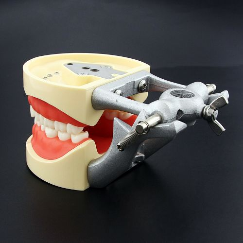 Dental Typodont Removable Teeth
